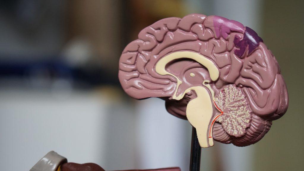 Métaux lourds dans le cerveau